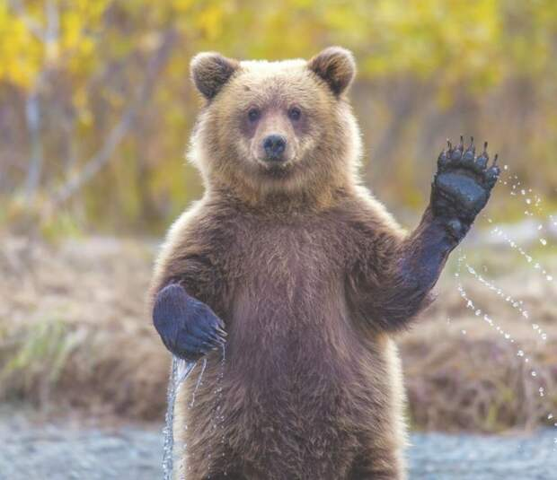 Канадец вежливо выпроводил медведей