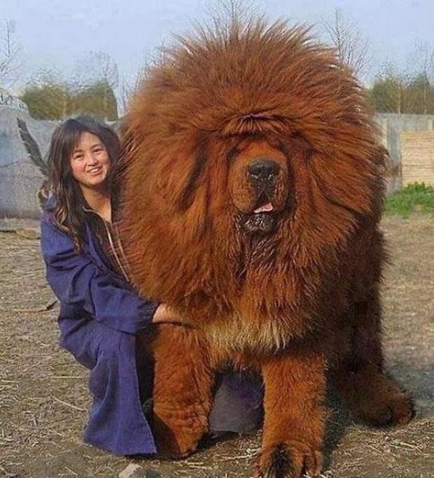 Тибеский мастиф, очень ныне модная порода гиганты, красота, молоссы, огромные, собаки