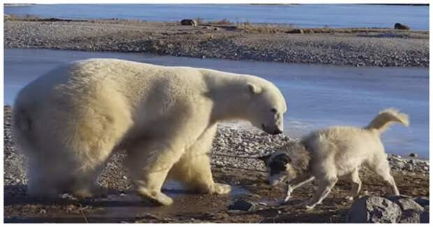 В это невозможно поверить! Огромный белый медведь гладит собаку по голове