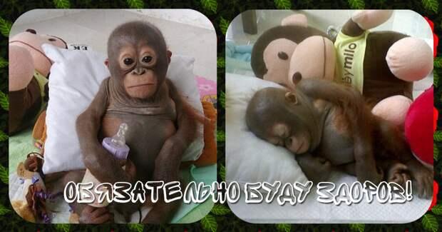 Отвратительно сладкая жизнь! Малыша орангутанга никогда ничем не кормили… кроме сгущёнки! Вот она, человеческая глупость…