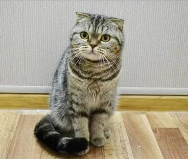 Шотландский котёнок чуть не остался без тёплого дома, из-за моей близкой подруги.