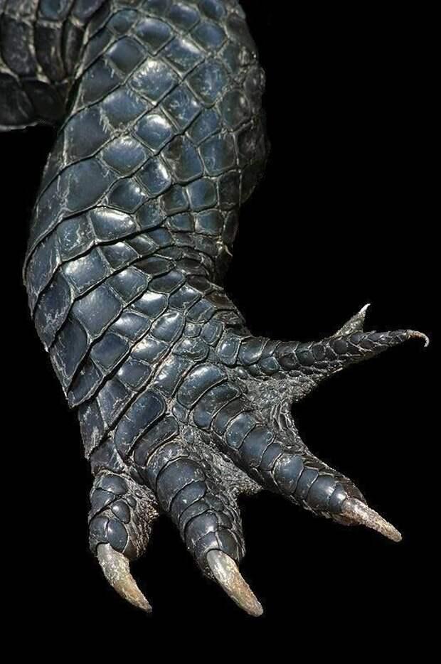 Только кожа на животе хищника является настолько мягкой, чтобы из нее готовить кожаные изделия. Кожа с других частей тела не пригодна. аллигатор, интересное, крокодил, природа, факты, фауна