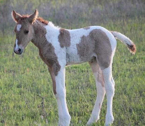 Кудрявые лошади. А Вы знали о существовании таких?