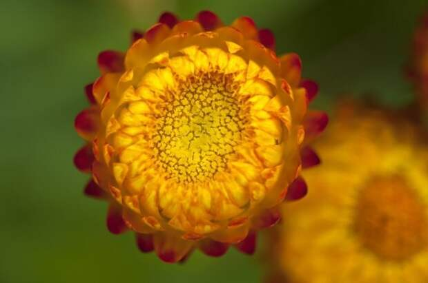 Close up strawflower