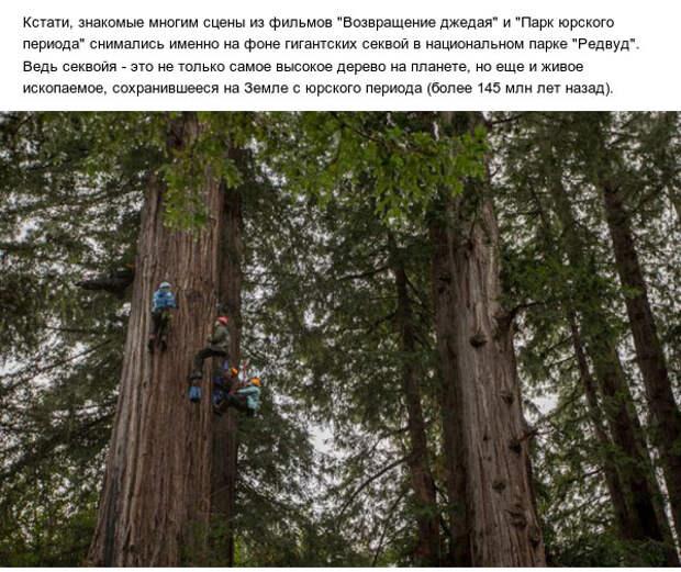 Как выглядят шишки самого высокого дерева на планете
