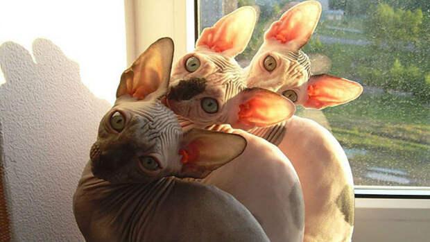 Малоисследованный, но факт – кошки синхронизируют