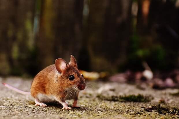 2019 год может оказаться неблагоприятным для Удмуртии по заболеваемости мышиной лихорадкой