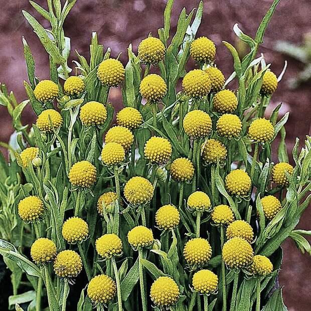 Цефалофора цветет долго - более 2 месяцев. Фото: ok.ru