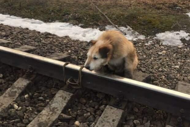 Ради спасения привязанной к рельсам собаки машинист остановил поезд у станции Антропшино