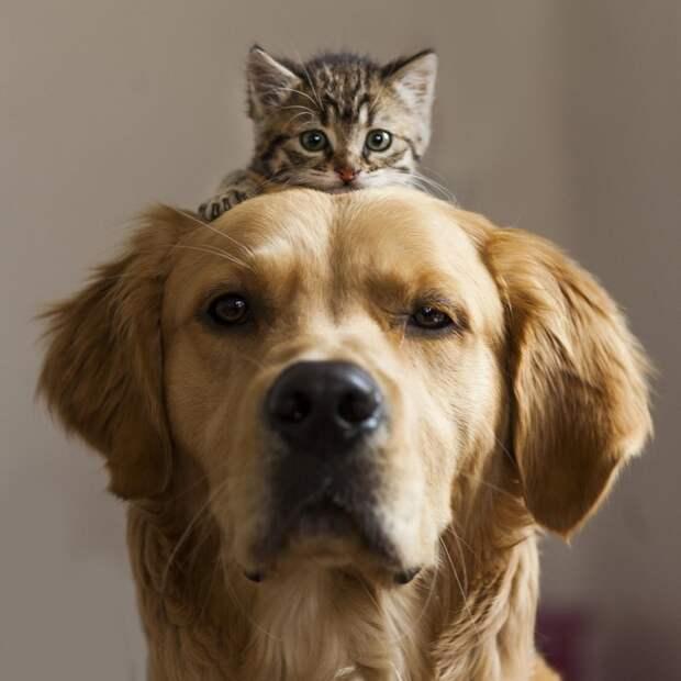 Дружить как кошка с собакой