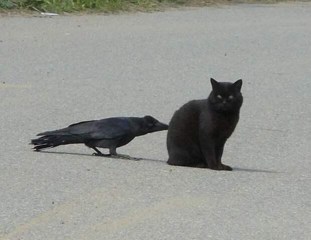 Кажется, кто-то съест эту ворону на обед вороны, животные, птицы, фото
