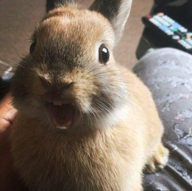 Вот как мило зевает кролик животные, коты, кошки, подборка, смешное, собаки, фото, юмор