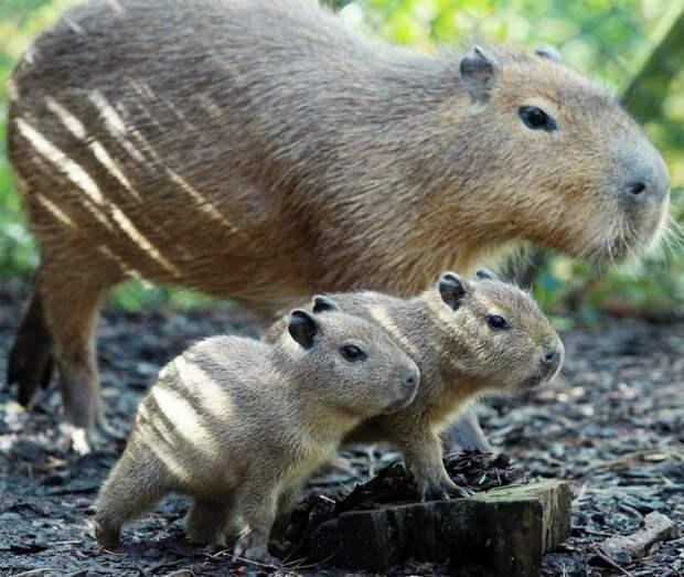 Капибара с детенышами. Фото