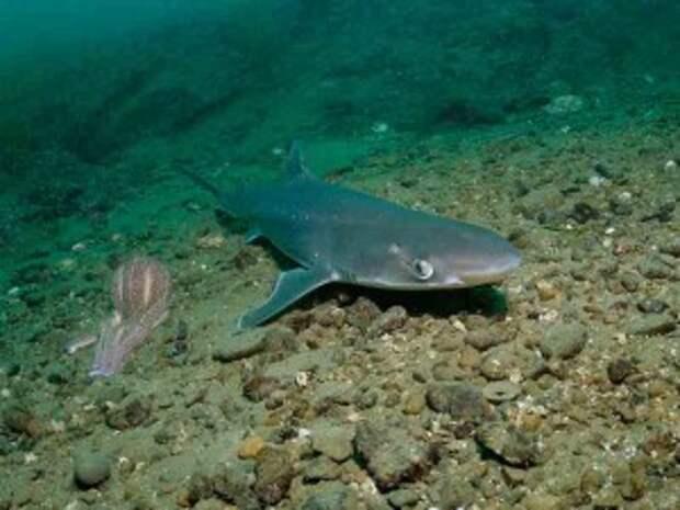 В Черном море в Сочи появились акулы-катраны история