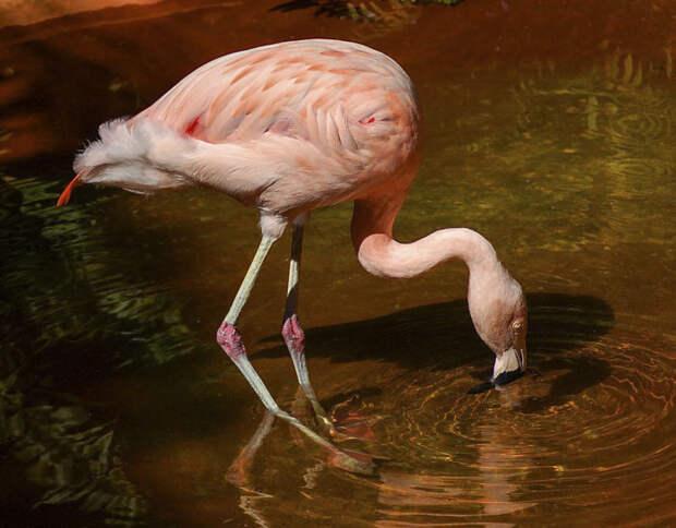 Колени у птицы находятся выше, ближе к туловищу, и сгибаются точно так же, как у человека.