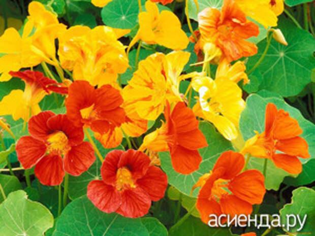 Какие съедобные цветы можно вырастить на участке