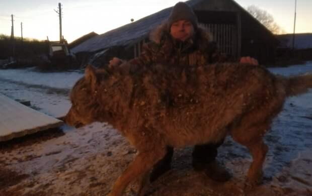 """""""Живодёр"""": """"фермера"""", убившего голыми руками волка в Еврейской АО, осуждают"""