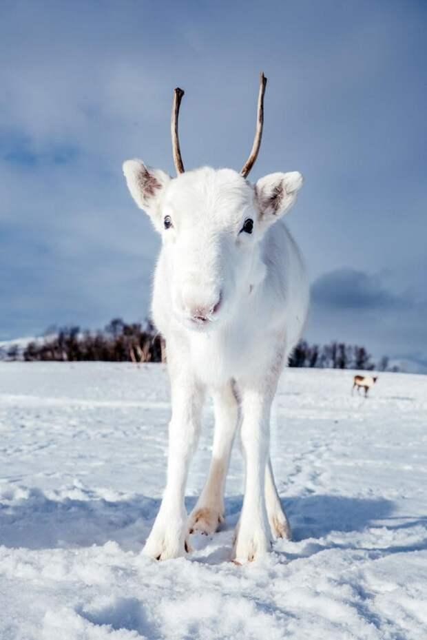 Чудо чудное и редкое: белый северный олешек
