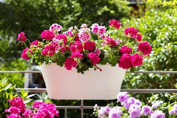 1 капля йода для обильного цветения герани - уход и подкормка