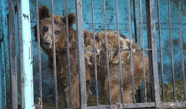 Несмотря на то, что медведи жили при ресторане, кормили их нерегулярно.