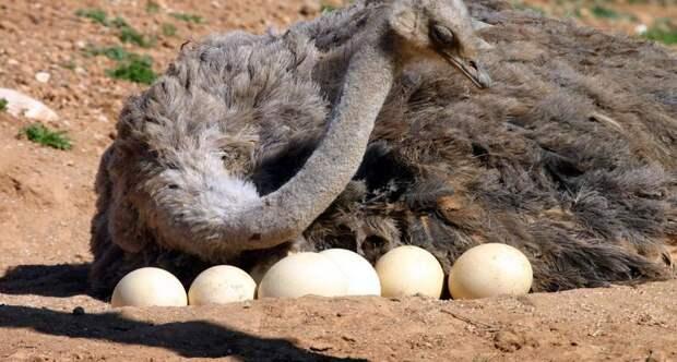 1200 7999 ostrich photo1