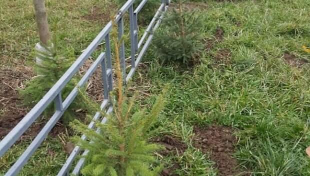 170 деревьев высадили во дворе микрорайона Кузнечики в Подольске
