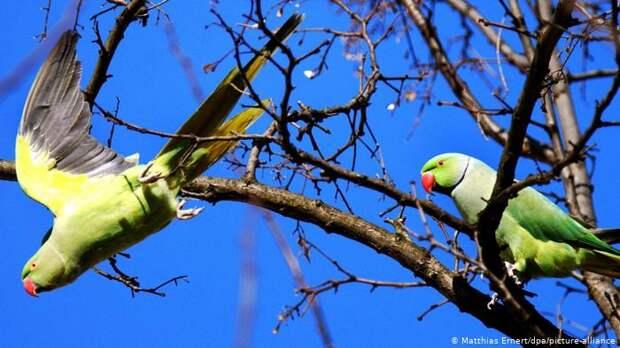 К летающим на свободе стаям попугаев в Германии давно привыкли