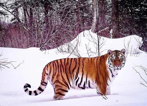 Сын «президентского» тигра Бориса по кличке Гром выгнал с обжитой территории отца