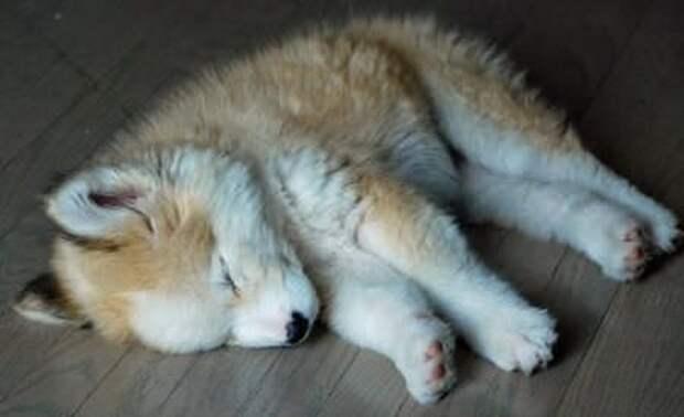 Парень взял домой «беспородного» щенка, а спустя время пушистик вырос...