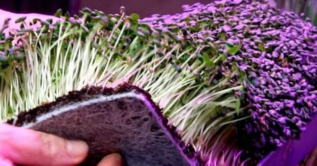 Выращивайте целый ковёр витаминов зимой