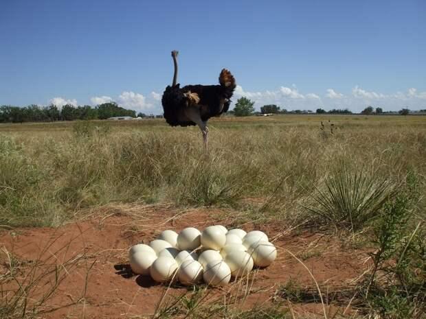 Зачем самки африканских страусов высиживают чужих птенцов
