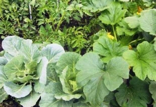 Садите огурцы и капусту рядом на грядке / Фото: i.mycdn.me