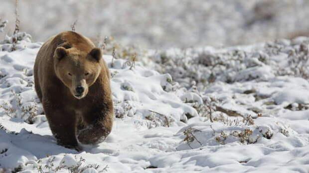 медведь гуляет