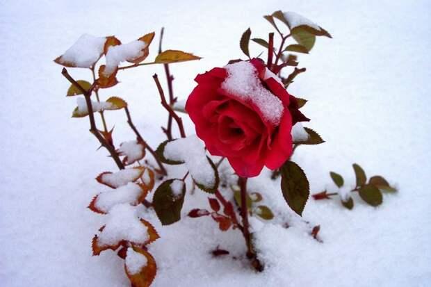 Когда можно откапывать розы из-под снега?