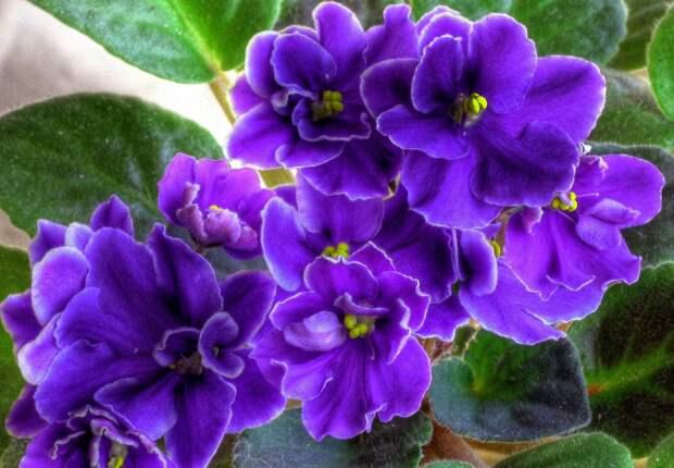 В Ботаническом саду ТвГУ расскажут о тонкостях выращивания фиалок