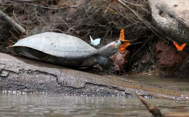Бразильский эколог заснял бабочку, которая пила слёзы из глаза спящей птицы бабочка, бразилия, видео, животные, птица, слеза