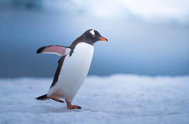 Пингвины могут быть очень забавными