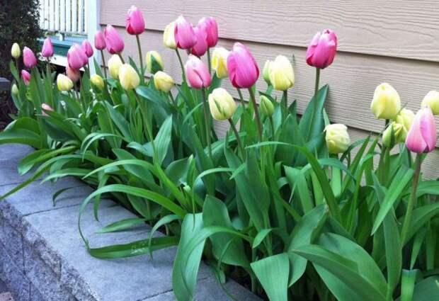 Участок для тюльпанов