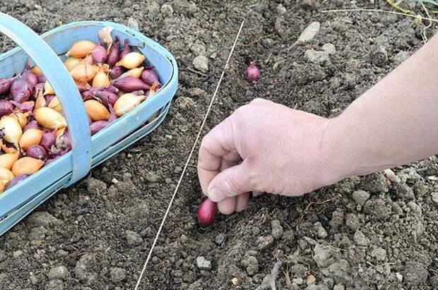 Подзимые хитрости с луком. Что посадить в октябре?