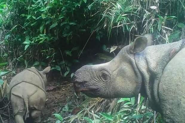 Двух детенышей редчайшего яванского носорога заметили в Индонезии