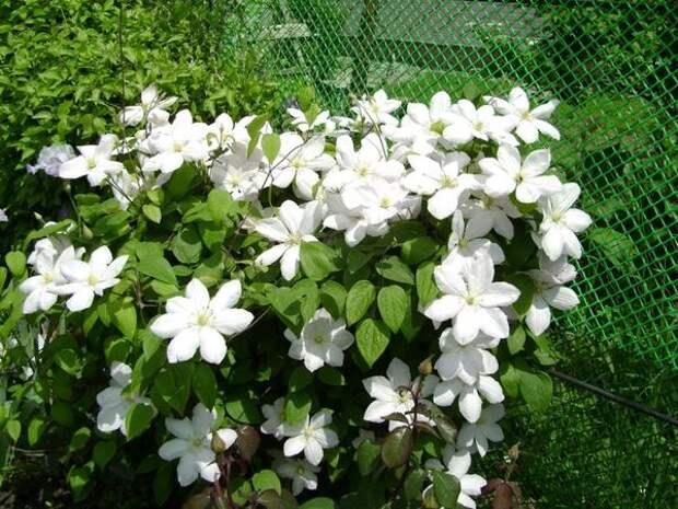 Высаживают клематисы весной и осенью. Фото автора