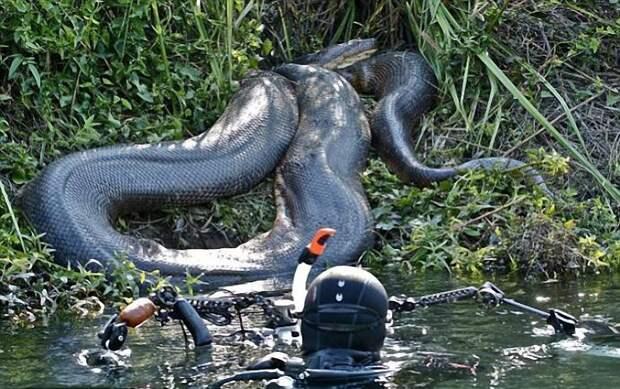 Царство 7-метровой анаконды: дайверы встретили змею под водой