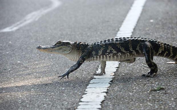 Девушки помогли заблудившемуся аллигатору перейти дорогу
