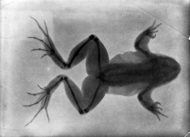 На рентгенограмме 1896 года видна лягушка со сросшейся сломанной костью (утолщение на задней лапке сверху). | Фото: wellcomeimages.org.