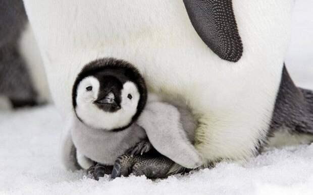 Что случится, если пощекотать пингвиненка? Заряд позитива гарантирован!