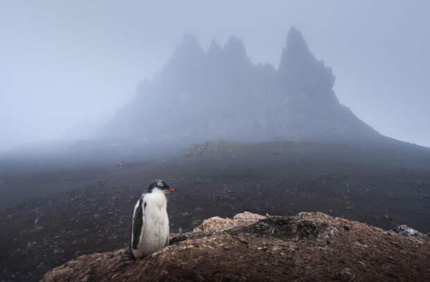 Птенец папуанского пингвина