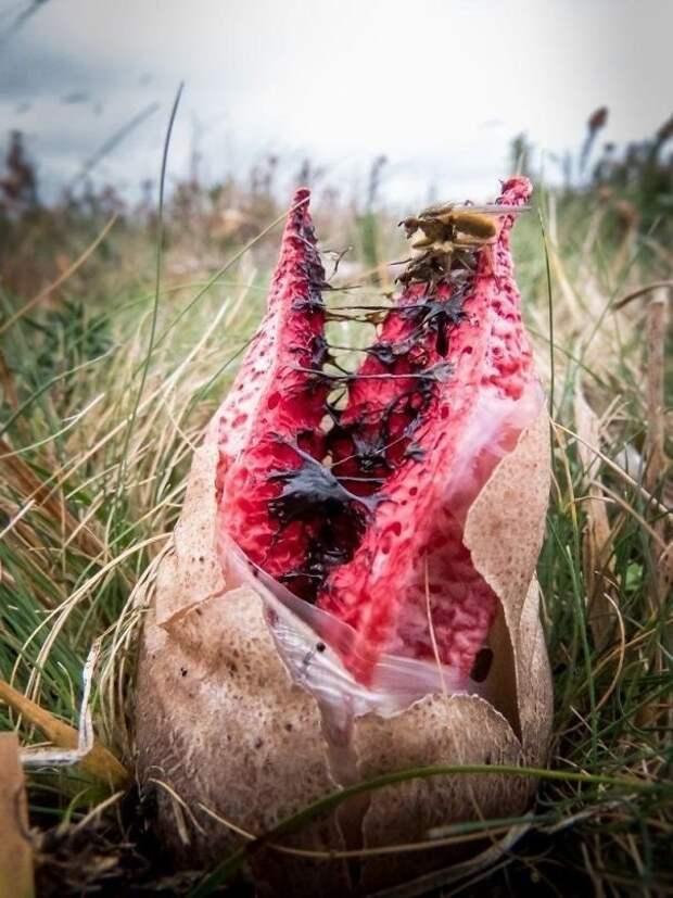 19. Гриб Антурус Арчера животные, мир, подборка, природа, ужас, фото, явление