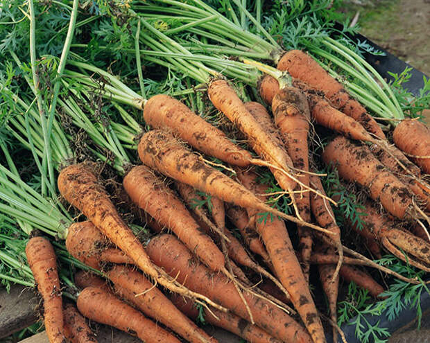 Основные технологии уборки моркови Огородникс