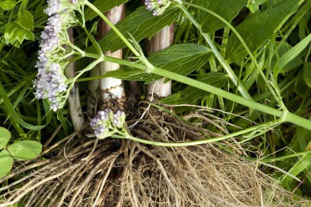 Выращиваем валериану на даче: как правильно
