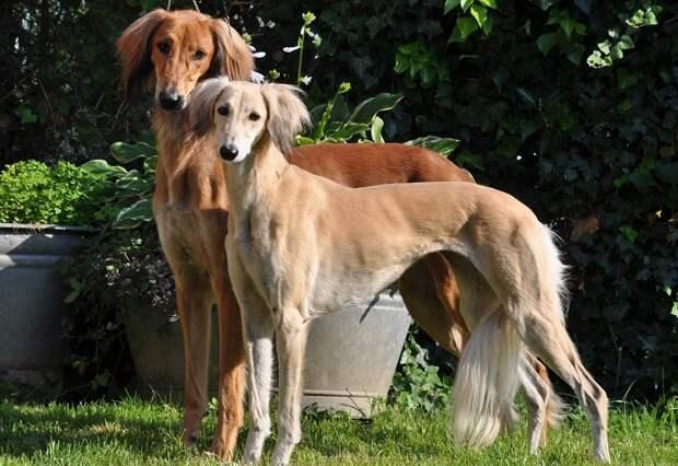 С помощью анализа ДНК американские ученые установили, что эти изящные борзые являются самой древней породой собак в мире! /Фото: prosobak.com